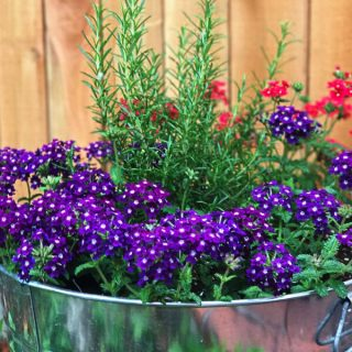 Red and purple verbena with rosemary in a galvanized pot