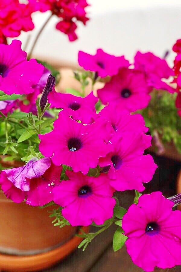 pink petunias for summer