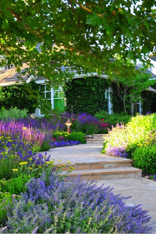 Beautiful walkway lined with catmint and lavender