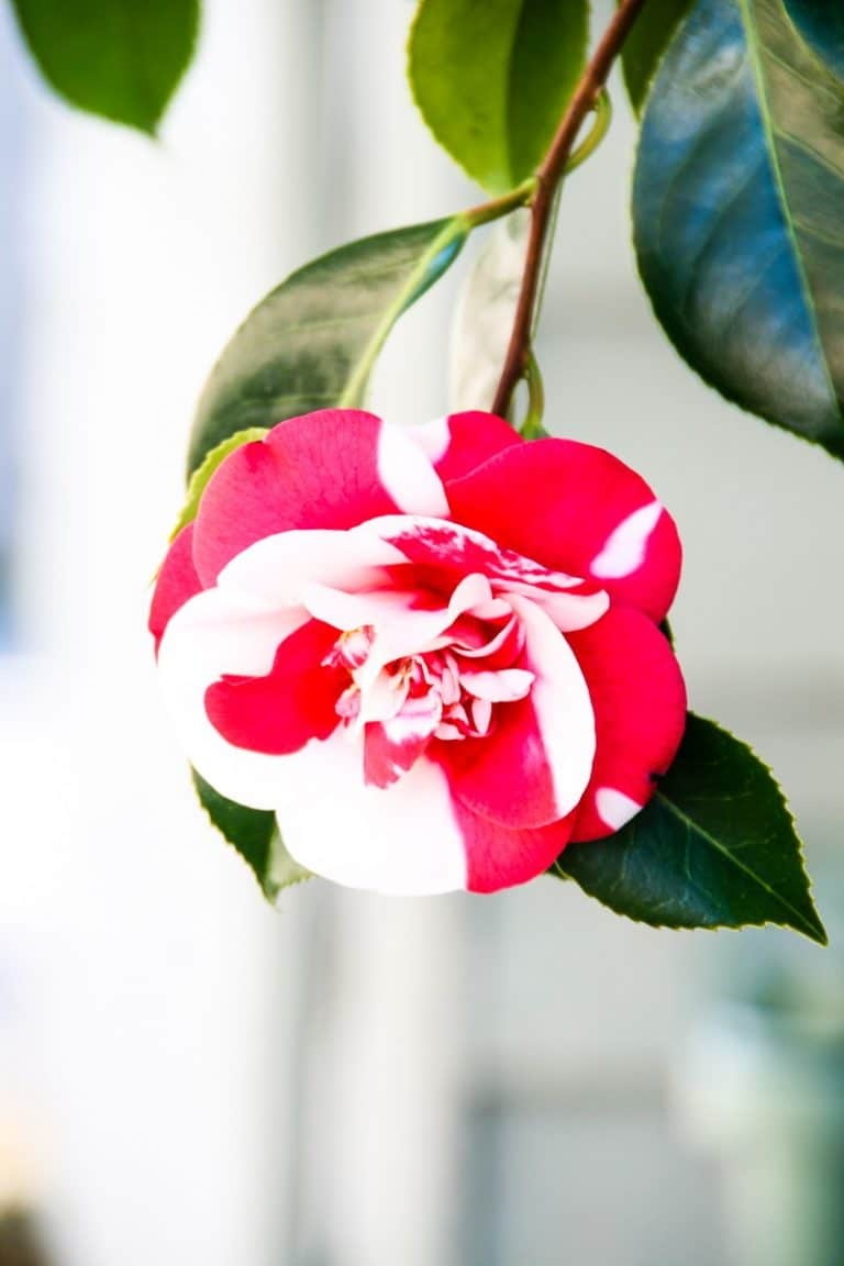 Camellia Japonica :  A Beautiful Flowering Tree for Spring!