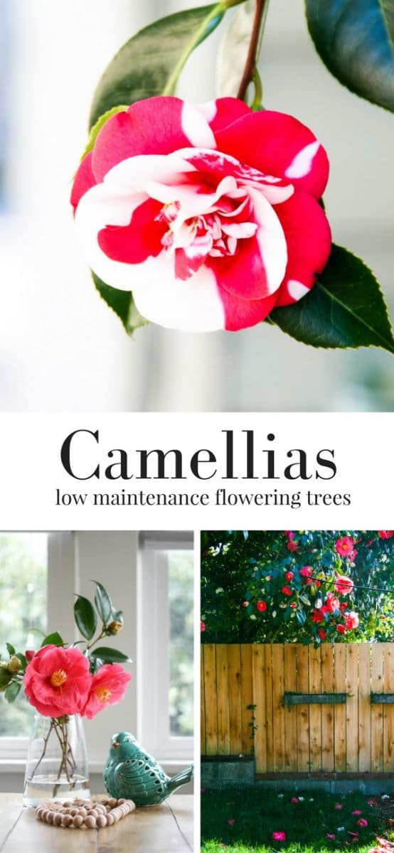 Camellias - Check out these low maintenance flowering trees for Spring!