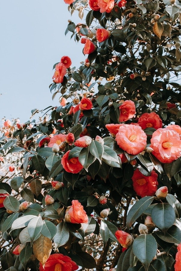 Camellia Japonica! A flowering Tree for Spring Color. #flowers #gardening #springflowers