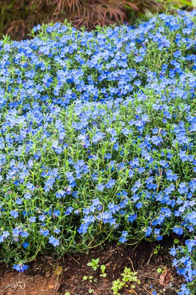Grace Ward is an amazing plant for your rock gardens!  I'm excited to show you how our 'grace ward' lithodora has come along these past couple years.  In spring and summer (somewhat), it has a beautiful show of little purplish blue star flowers.  Learn more about 'grace ward' and how to keep it happy!