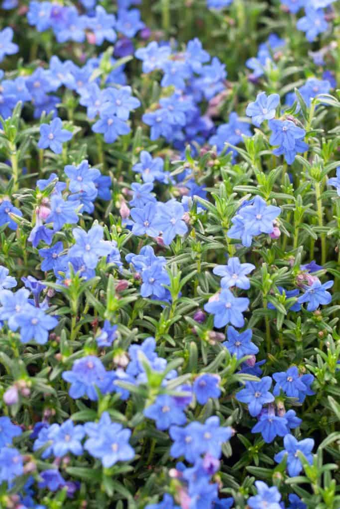 Grace Ward is an amazing plant for your rock gardens!  I'm excited to show you how our grace ward lithodora has come along these past couple years.  In spring and summer, it has a beautiful show of little purplish blue star flowers.  Learn more about grace ward and how to keep it happy!