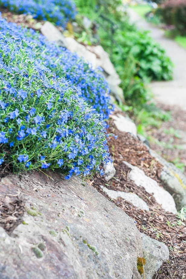 Try Grace Ward for your Rock Gardens, Slopes and Planters