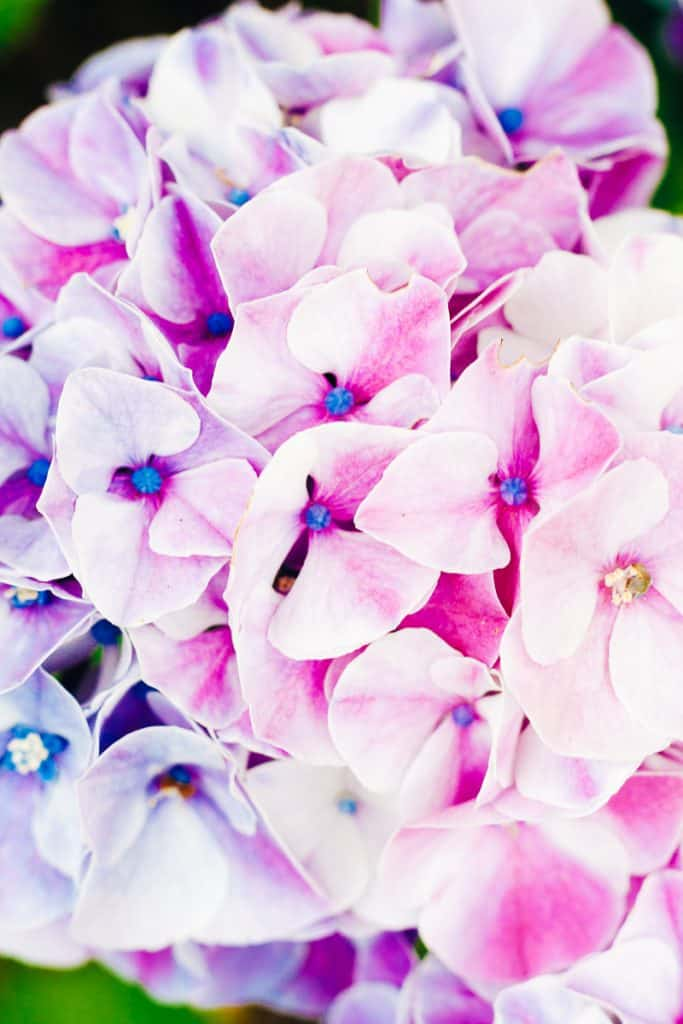 It's summer. That means these beautiful Hydrangeas are all in bloom. Right? Well, maybe not for everyone! Get some tips and tricks for how to care for Hydrangeas, including 5 things you should know about these gorgeous flowers.