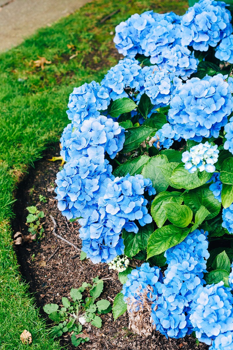 How to care for hydrangeas 5 things you might not know decor hint its summer that means these beautiful hydrangeas are all in bloom right well izmirmasajfo