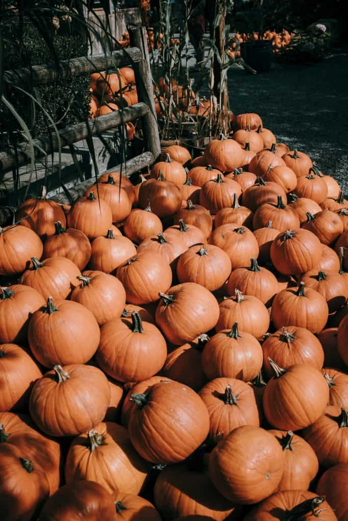 The Prettiest Pumpkin Patch you ever Saw