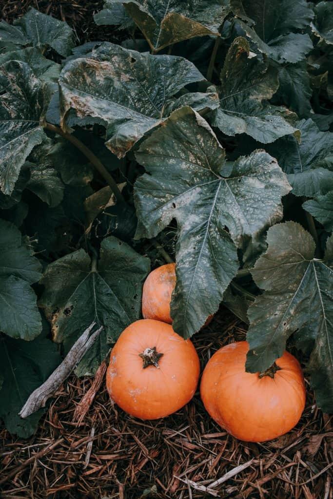 The Prettiest Pumpkin Patch you ever Saw