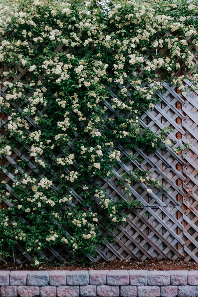 Love roses but hate the maintenance?  This rose is totally thornless, easy to care for, and a prolific climber.  Save this pin and click through for your next garden idea! #roses #ladybanksrose #climbingplants #trellis #spring #garden #flowers