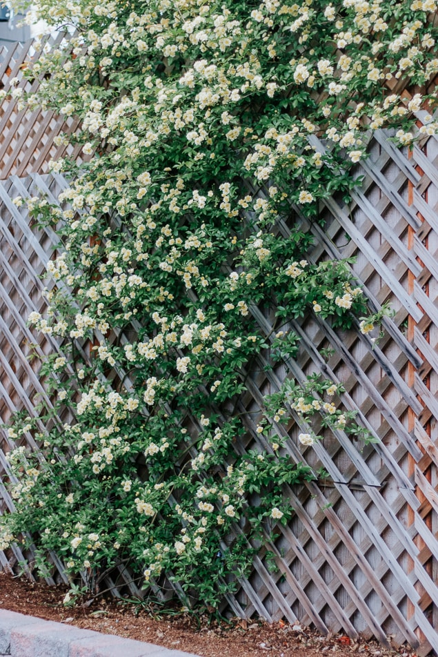 Lady Banks Rose on trellis - totally thornless, easy to care for, and a prolific climber.  Save this pin and click through for your next garden idea! #roses #ladybanksrose #climbingplants #trellis #spring #garden #flowers