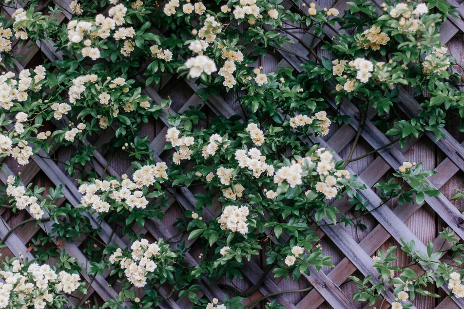 All about the Yellow Lady Banks Rose - totally thornless, easy to care for, and a prolific climber.  Save this pin and click through for your next garden idea! #roses #ladybanksrose #climbingplants #trellis #spring #garden #flowers