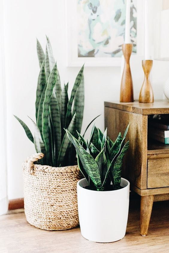 Snake Plants in Living Room