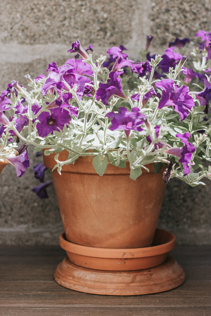 Purple Petunia in Terra Cotta Planter