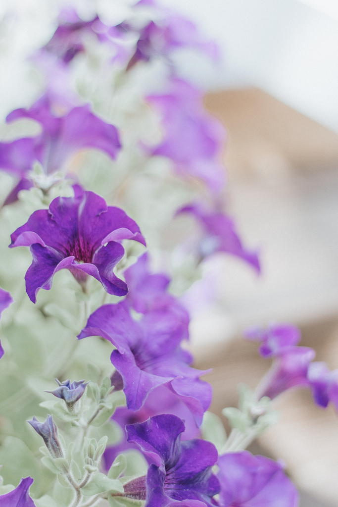 Purple Superwave petunia (2)