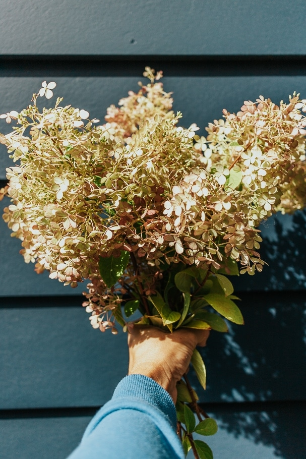 Showing a bunch of hydrangeas to make a dried hydrangea arrangement - home decor - decor hint