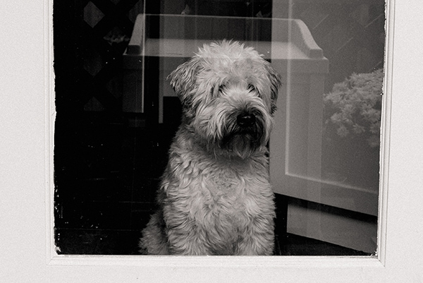 soft coated wheaten terrier looking out the window