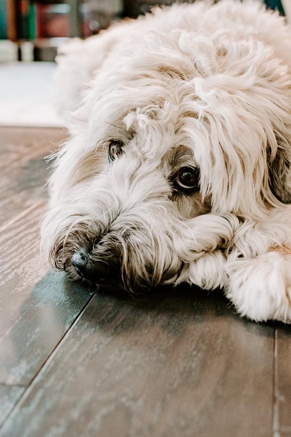 wheaten terrier dog laying on hardwood floors