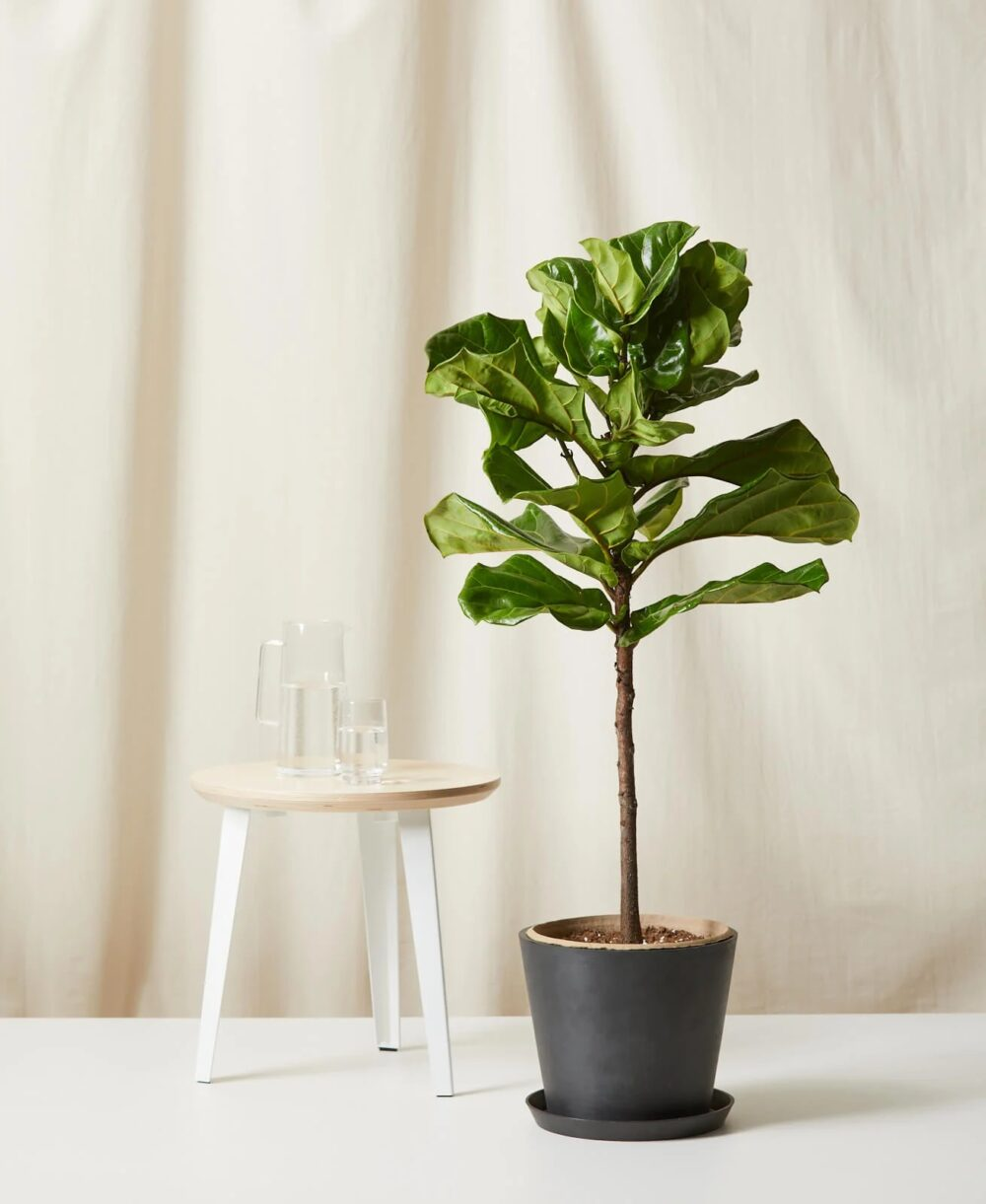 6 Best Faux Fiddle Leaf Fig Trees - If you are searching for the best faux fiddle leaf fig tree you can find - then your search is over my friend! :)