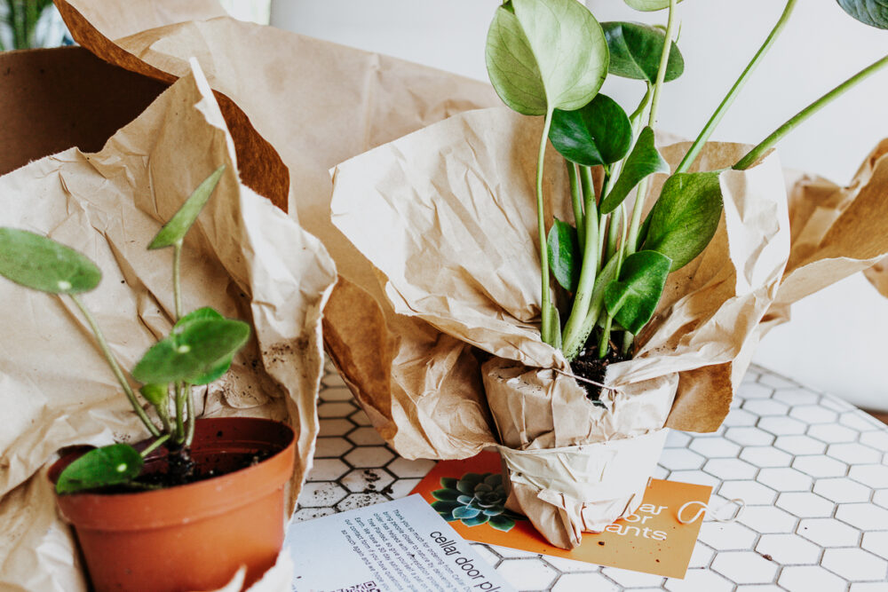 Cellar Door Plants Review - a beautiful monstera and a Chinese Money Plant.